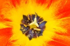 Nahaufnahme von Tulpenblumen Stockfotografie