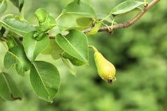 Nahaufnahme von unausgereiften Birnen auf Baumast mit grünen Blättern während der Sommersaison Fruchtgarten stockfotografie