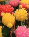 Nahaufnahme von vibrierendem gelbem, rosa und rotem Mini Cactus Plants Stockfoto