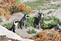 Nahaufnahme von vier netten Esel-Pinguinen auf dem Strand in BettyÂs Bucht nahe Cape Town in Südafrika Lizenzfreies Stockbild