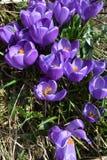 Nahaufnahme von Violet Crocuses mit Blättern, Krokus vernus, Porträtorientierung Lizenzfreie Stockfotos