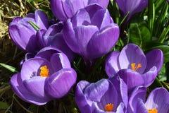 Nahaufnahme von Violet Crocuses mit Blättern, Krokus vernus, Porträtorientierung Stockfotografie