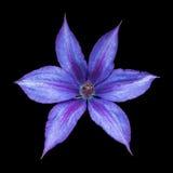 Nahaufnahme von violetten Klematis Stockbilder