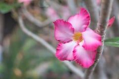 Nahaufnahme von Wüsten-Rose Tropical-Blume nannte auch Impala-Lilie, Scheinazalee, rosa Adenium auf einem Baum oder Impala-Lilie  Stockfotografie