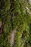 Nahaufnahme von Wassertröpfchen auf den Niederlassungen eines Weihnachtsbaums, der mit einem weichen unscharfen Hintergrund abrei lizenzfreies stockfoto