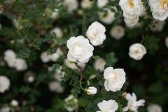 Nahaufnahme von weißen Blumen auf wilden Rose Bush lizenzfreie stockfotos