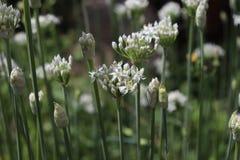 Nahaufnahme von weißen Blumen der Knoblauchschnittlauche, Lauch tuberosum Heilpflanzen, Kräuter im Biogarten Lizenzfreies Stockbild