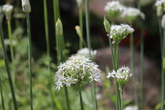 Nahaufnahme von weißen Blumen des Knoblauchschnittlauche Lauch tuberosum Heilpflanzen, Kräuter im Biogarten Stockfoto