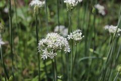 Nahaufnahme von weißen Blumen des Knoblauchschnittlauche Lauch tuberosum Heilpflanzen, Kräuter im Biogarten verwischt Stockbilder