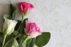 Nahaufnahme von weißen und rosa Rosen Stockfotografie