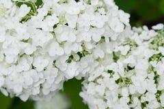 Nahaufnahme von weißen lila Blumen Stockfoto