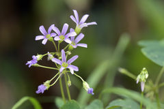 Nahaufnahme von woodsorrel Blume Stockfoto