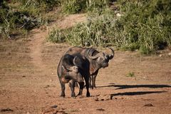 Nahaufnahme von zwei braunen großen Wasserbüffeln in Addo Elephant Park in Südafrika Lizenzfreies Stockfoto