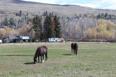Nahaufnahme von zwei braunen Pferden auf dem Gebiet Stockfoto