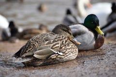 Nahaufnahme von zwei bunten Enten auf a lakeshore in Kassel, Deutschland Stockbilder