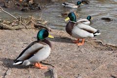 Nahaufnahme von zwei bunten Enten auf a lakeshore in Kassel, Deutschland Stockfoto