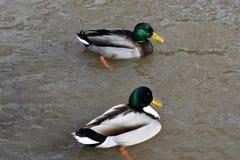 Nahaufnahme von zwei bunten Enterichen, die in einem See in Kassel, Deutschland schwimmen Lizenzfreie Stockbilder