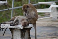 Nahaufnahme von zwei netten Affen auf einer Tabelle am Affeberg Khao Takiab in Hua Hin, Thailand, Asien Lizenzfreie Stockfotografie