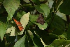 Nahaufnahme von zwei Schmetterlinge gelandet auf Blättern stockfoto