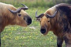 Nahaufnahme von zwei Takins (Moschus-Rind-Verwandter) Stockfotografie