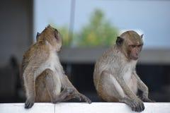 Nahaufnahme von zwei wilden Affen am Affeberg Khao Takiab in Hua Hin, Thailand, Asien Stockbilder