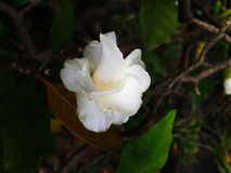 Nahaufnahme weiße Frangipaniblumen Stockfoto
