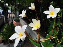 Nahaufnahme weiße Frangipaniblumen Stockbild