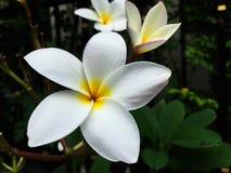 Nahaufnahme weiße Frangipaniblumen Lizenzfreies Stockfoto