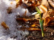 Nahaufnahme weniger snowdrop im Frühjahr Jahreszeit Lizenzfreie Stockfotos