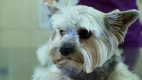 Nahaufnahme-Yorkshire-Terrier auf Prüfung am Tierarzt stock video