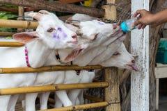 Nahaufnahme-Ziege, die eigenhändig speist Stockfotos
