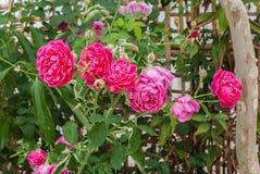 Nahaufnahme zu buntem Rosa-oder SommerDamaskusrose Rosa? Damascena-Mühle / Rosaceae-Blumen Lizenzfreies Stockfoto