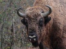 Nahaufnahme zu einem männlichen europäischen Bison im Herbst für Stockfotografie