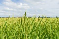 Nahaufnahme zu einem Reisfeld Lizenzfreie Stockbilder
