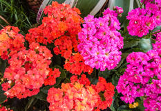 Nahaufnahme zu rotem und knallrosa loderndem Katy/Kalanchoe/Blossfeldiana/Poelln und Kreuzungcrassulaceae Stockbild