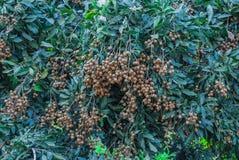 Nahaufnahme zum Bündel Longan-Baum-Hintergrund Lizenzfreies Stockfoto