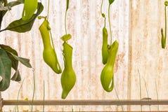 Nahaufnahme zum Hängen der Fleisch fressenden Anlage, Nepenthes-/tropische Kannenpflanze-Affe-Cups Stockfoto