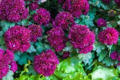 Nahaufnahme zum neuen schönen blühenden purpurroten Chrysanthemen-Blumen-Hintergrund Stockfotografie