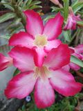 Nahaufnahme, zum von Adenium Obesum im Garten auszuzacken stockfotografie
