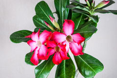 Nahaufnahme zur Wüstenrose, Impala-Lilie, Adenium Stockfotografie