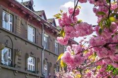 Nahaufnahmeansicht über Sakura Cherry Trees in der Blüte und im alten europäischen Gebäude auf dem Hintergrund Lizenzfreies Stockbild