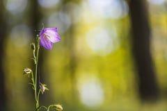 Nahaufnahmeansicht der Blüte des Pfirsich-leaved Glockenblume Glockenblume-PET Stockfotos