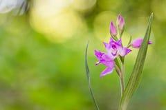 Nahaufnahmeansicht der Blüte von roter Helleborine Cephalanthera rubra Lizenzfreie Stockbilder