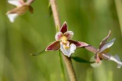 Nahaufnahmeansicht der Blüte von Sumpf Helleborine Epipactis palustri Stockfoto