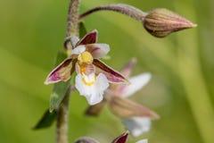 Nahaufnahmeansicht der Blüte von Sumpf Helleborine Epipactis palustri Lizenzfreies Stockfoto