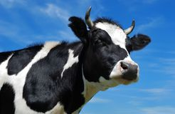 Nahaufnahmeansicht der gehörnten Kuh Stockbild