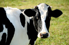 Nahaufnahmeansicht der gehörnten Kuh Stockfotografie