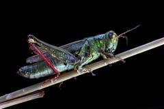 Nahaufnahmeansicht der Heuschrecke mit Wassertropfen lizenzfreies stockfoto