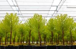 Nahaufnahmeansicht der jungen Nadelbäume lizenzfreie stockbilder
