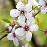 Nahaufnahmeansicht der Kirschblüte-Kirschweißen Blume stockbild